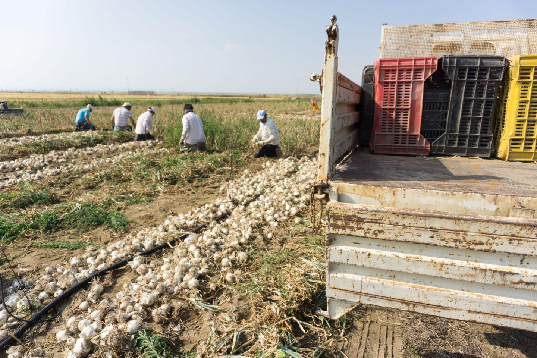 Margherita di Savoia Puglia Nadia El Ferdaoussi Travel Blogger and Writer Italy cipolla onion farming in sand